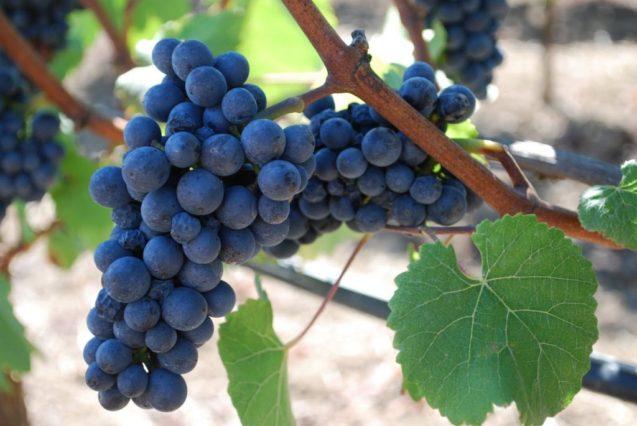 Vinhos pinot noir podem ser úteis!